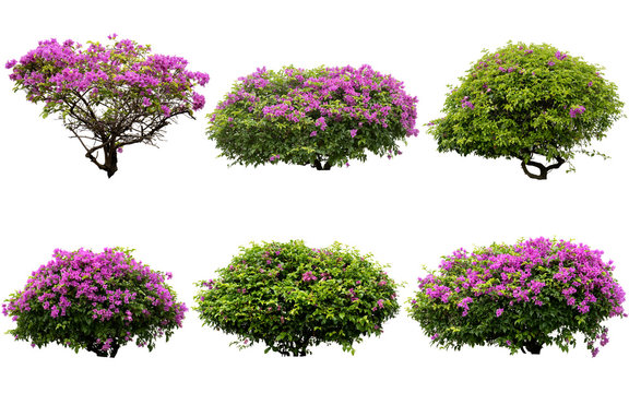Pink flowers or Fueng Fah flower isolate background with Clipping Path.