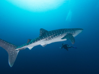 Whale shark with a diver