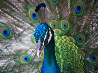 Peacock with tail in plume