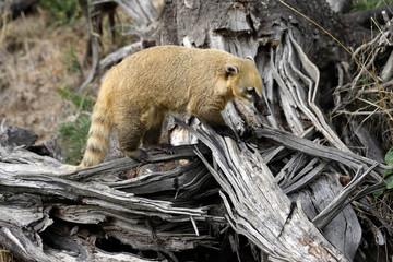 Portrait of nasua raccoon on the dry tree