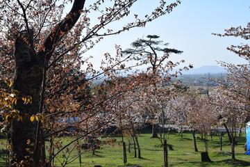 春の旭山公園と桜