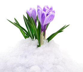 Crocuses and snow.