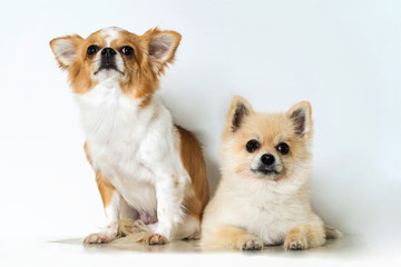 Cute two chihuahua dogs on white background