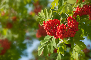 Ripe red rowan berries in bunches. Rowan tree with fruit berries in the forest.
