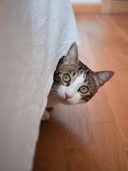 Gato (Macho)