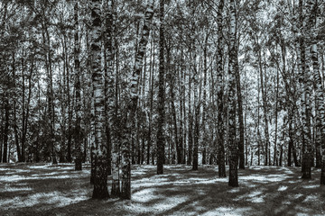 Birch grove on a sunny day - black and white photo