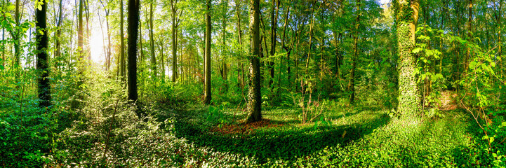 Forest panorama in summer with bright sun shining through the trees