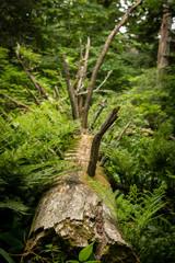 Fallen Tree Lies Across Forest Floor