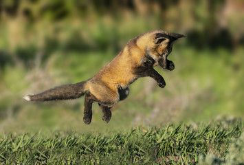 Flying Fox - A red fox kit launches in a sneak attack on one of its siblings. Silverthorne, Colorado.