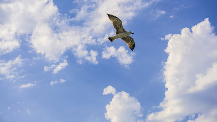 Bird flying / soaring in the blue sky, summer or spring background. Abstract sky and happiness background. Freedom concept. Symbol of liberty and freedom. Lonely seagull in air. Individuality concept.
