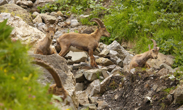 Group of young alpine ibex on the stones