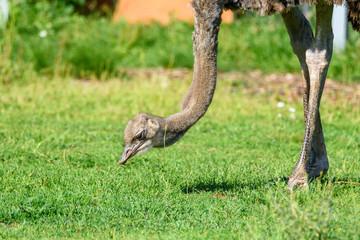 Zelfklevend Fotobehang Struisvogel ostrich eats grass