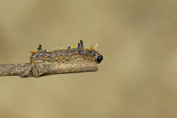 Image of brown caterpillar on tree branch on natural background.  Insect. Worm. Animal.