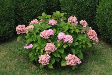 bush of pink hydrangea in a garden