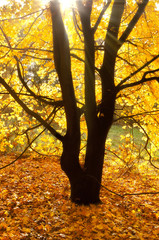 Sun beams on an autumn tree
