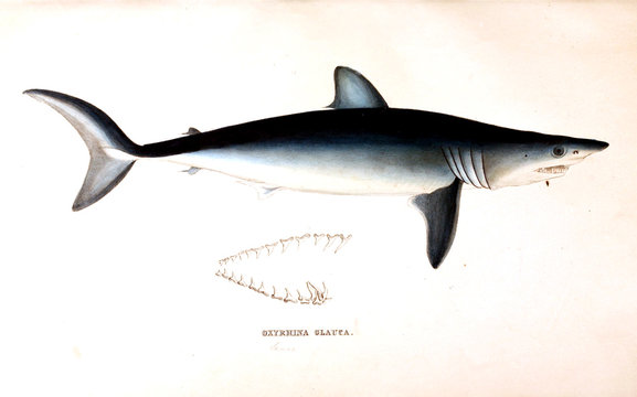 Illustration of animal