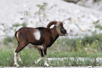 Mouflon - Mating season