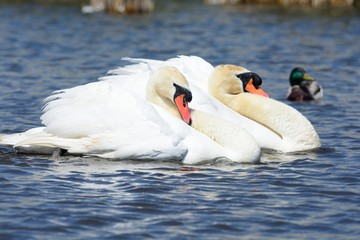 Two mute swans performing a courting ritual