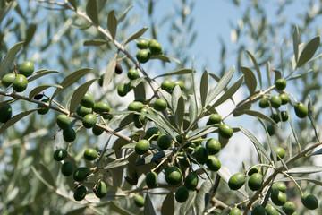 Zweig eines Olivenbaumes mit Früchten