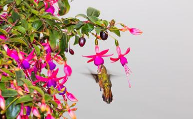 "Rufous hummingbird "" Selasphorus rufus "" sips nectar from fuchsia flowers ."