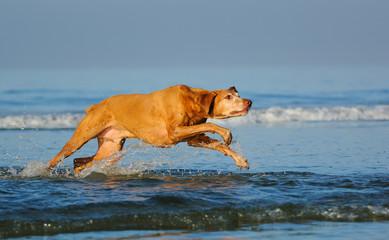 Vizsla dog outdoor portrait running through ocean water