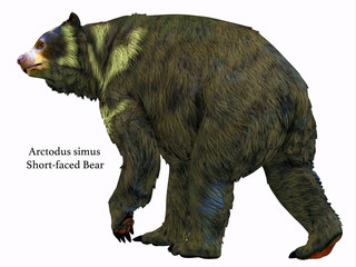 Arctodus Bear Tail - Arctodus was an omnivorous short-faced bear that lived in North America during the Pleistocene Period.