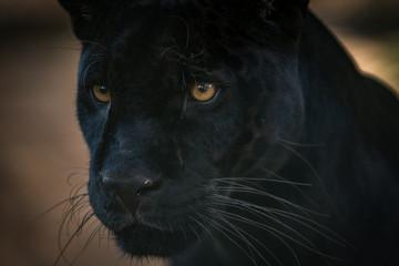 Wall Murals Panther Onça Pintada / Jaguar (Panthera onca)