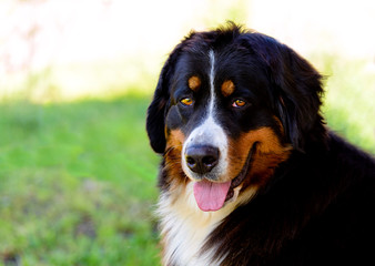Bernese Mountain Dog portrait. The Bernese Mountain Dog is in the city park.