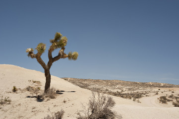 A Joshua Tree standing on sand dunes against the blue sky