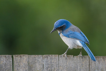 Beautiful graceful blue scrub jay bird