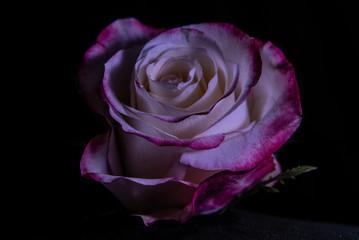 variegated rose with pink filer on black background