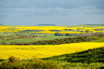 Rapeseed & Wheat Fields in the Mid West - Western Australia