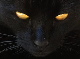 cat animal pet feline cute yellow eyes black kitty close up