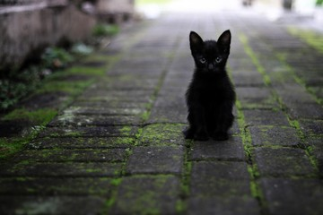 cat animal pet feline cute black kitty young paved path