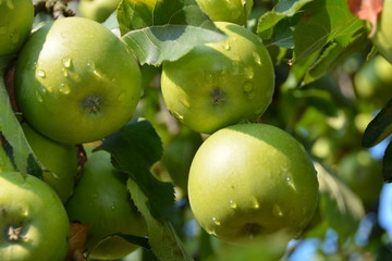 Apple, ecological production in the region of Noszvaj, Hungary. Grapes, apples, pears.