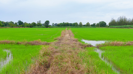 Green rice field with soil barrier on daytime