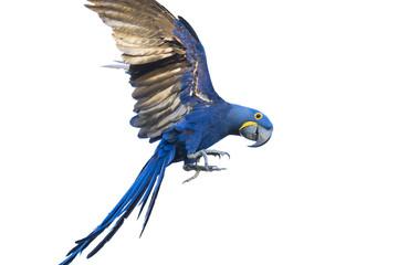 Hyacinth macaw flying Fotomurales