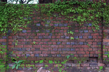 Old wet brick house wall covered by green climbing plants