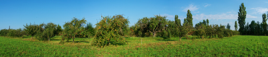 apples ripe on a tree. A panorama of fruit trees.