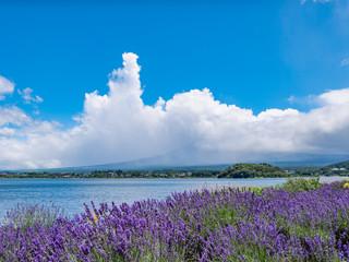富士山 河口湖 大石公園 ラベンダー