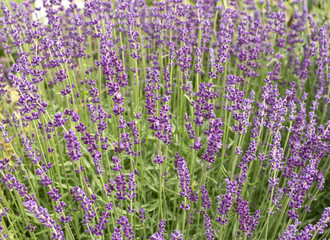 Field of blossoming lavender from close-up. Provence.