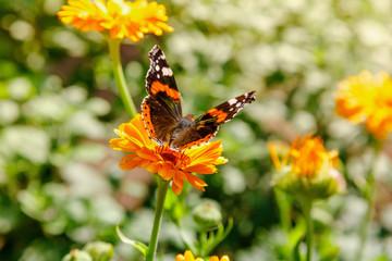 Beautiful butterfly on the orange flowers of calendula officinalis.