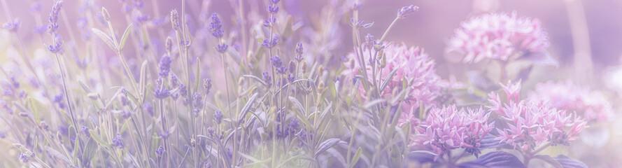Lavendel, Blumenwiese mit rosa, Panorama