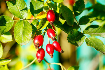 Fruits of rose hips ripen under the rays of the sun