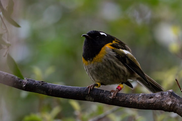 Round Stitchbird / Hihi