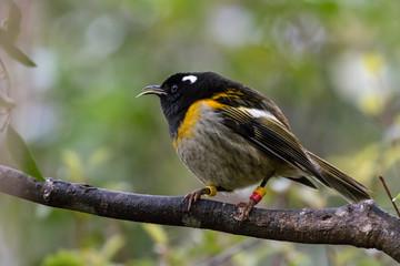 Make New Zealand Stitchbird / Hihi In Sanctuary
