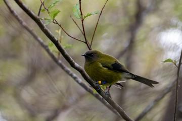 Male Bellbird / Makomako In New Zealand Forest