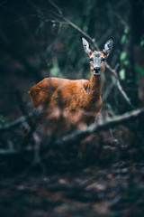 Roe deer standing between twigs in forest looking towards camera.