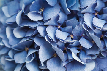 Blue hydrangea flora background closep top view