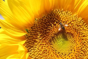 Sonnenblume mit Biene, Nahaufname